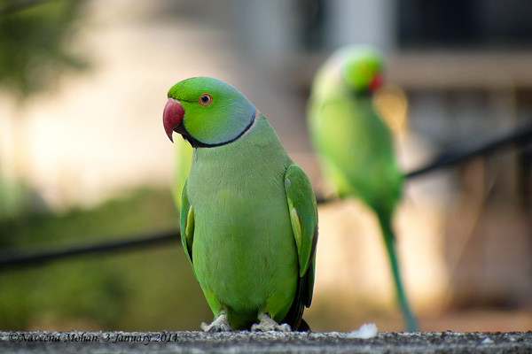 Rose-ringed parakeets in Rosebank